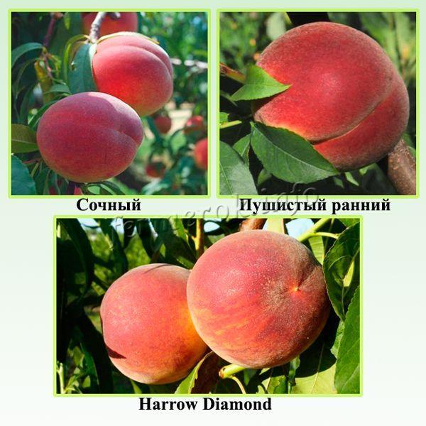 Зимостойкие сорта персика отличающиеся урожайностью