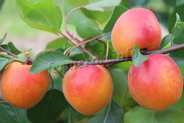 Фото абрикоса сорт Спринг Блаш