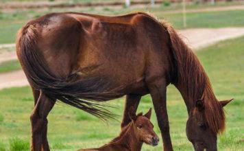 Сколько лет живут лошади