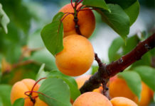 Ранние сорта абрикос