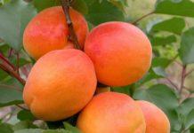 Фото самоплодных сортов абрикоса