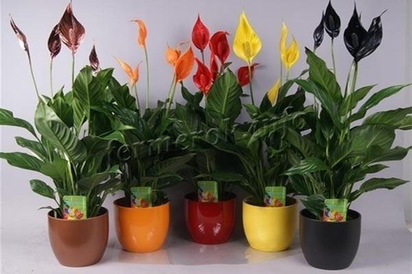 Фото цветов Спатифиллум