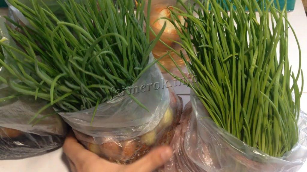 Выращивание зеленого лука на перо 39