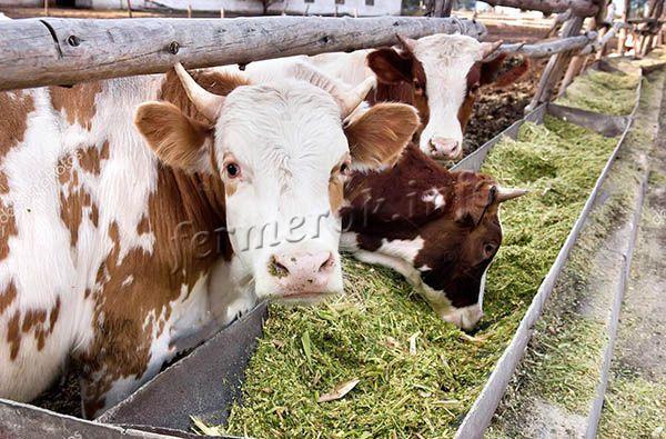 Для скотин в день предоставляется до 8 г силоса на 100 г массы тела