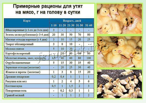 Кормление и выращивание утят мулардов в домашних условиях 34