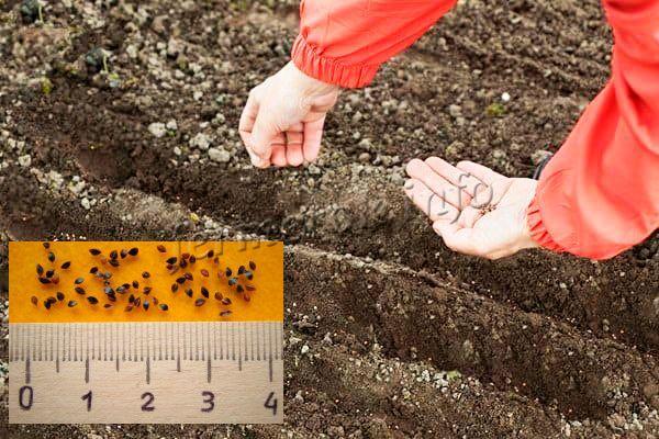 Как сажать щавель семенами дома 1