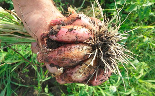 Как сажать лук сорокозубку 893